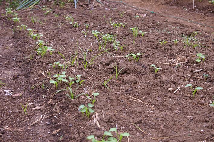 ダイコンなど発芽、営農面積拡大へ(2011・9・26)_c0014967_12571713.jpg