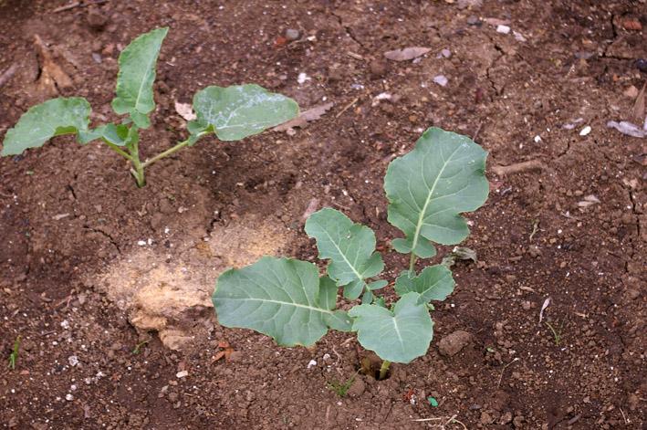 ダイコンなど発芽、営農面積拡大へ(2011・9・26)_c0014967_1304778.jpg