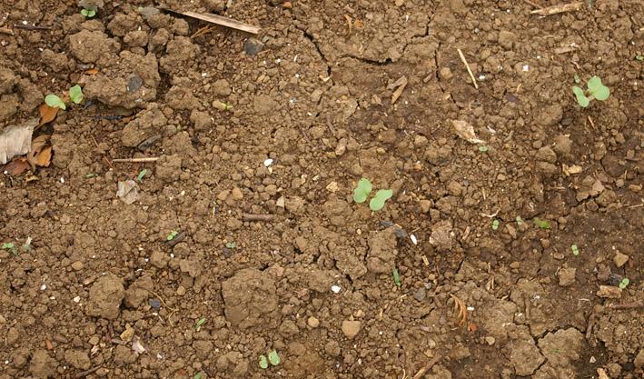 ダイコンなど発芽、営農面積拡大へ(2011・9・26)_c0014967_131073.jpg
