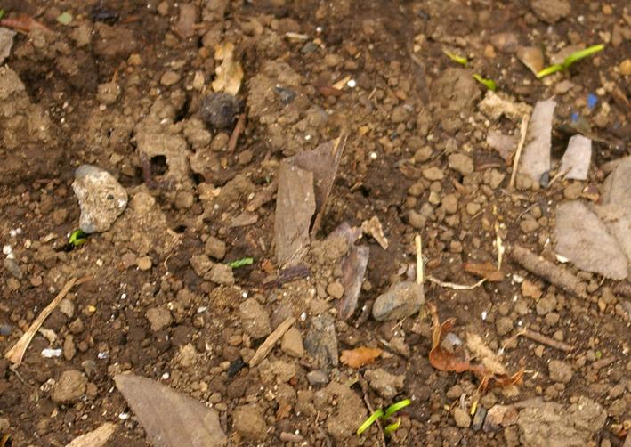 ダイコンなど発芽、営農面積拡大へ(2011・9・26)_c0014967_1315170.jpg