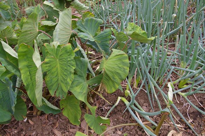 ダイコンなど発芽、営農面積拡大へ(2011・9・26)_c0014967_1323718.jpg