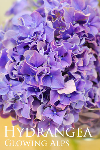 青木園芸さんの紫陽花(ハイドランジア)/カメラの話_a0115684_9292411.jpg