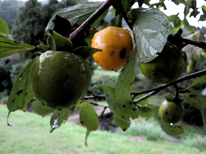 柿が雨で光る_b0145296_725665.jpg