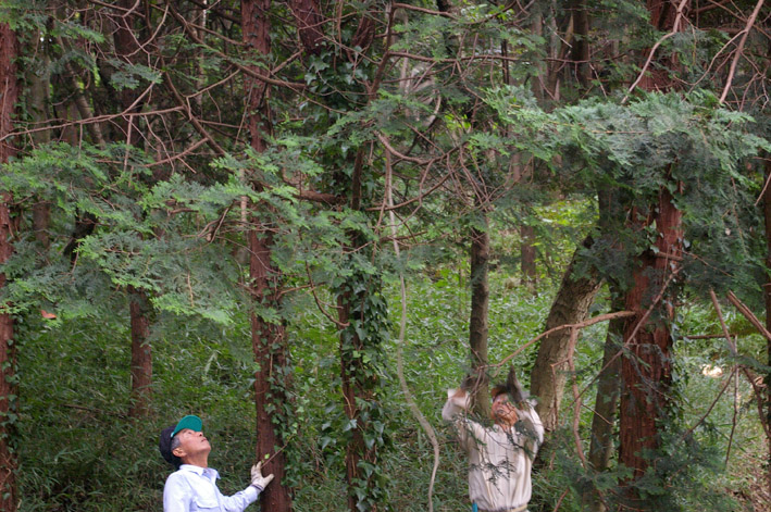 六国見山森林公園のヒノキ伐採に着手(2011・9・27)_c0014967_20182985.jpg
