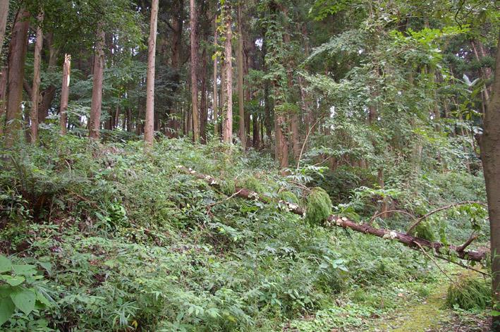 ヒヤリ、台風15号で六国見山森林公園のスギが倒木_c0014967_20592252.jpg