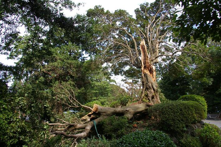ヒヤリ、台風15号で六国見山森林公園のスギが倒木_c0014967_21284416.jpg