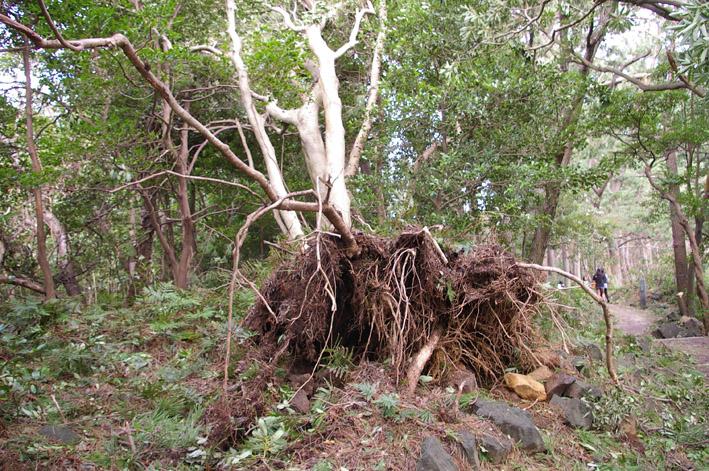 ヒヤリ、台風15号で六国見山森林公園のスギが倒木_c0014967_2129393.jpg