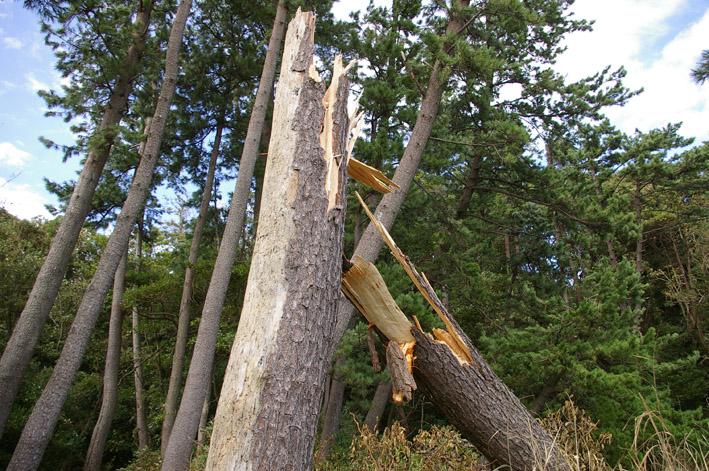 ヒヤリ、台風15号で六国見山森林公園のスギが倒木_c0014967_21302996.jpg