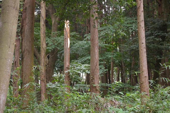 ヒヤリ、台風15号で六国見山森林公園のスギが倒木_c0014967_21323815.jpg