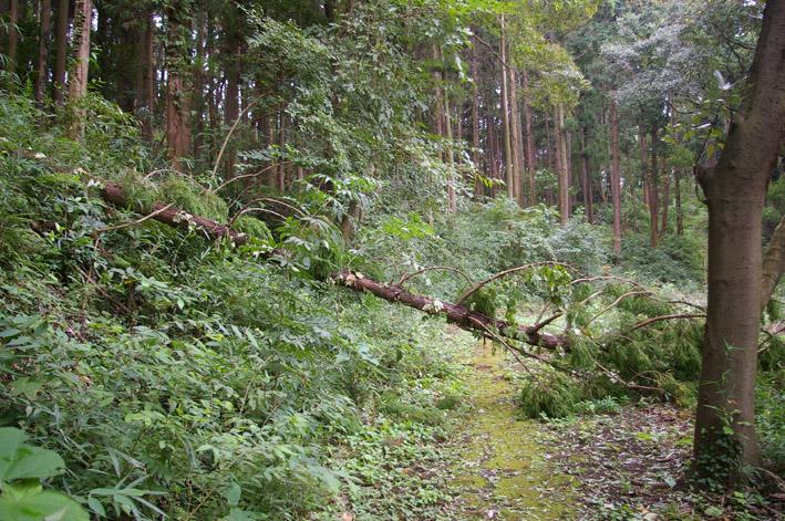 ヒヤリ、台風15号で六国見山森林公園のスギが倒木_c0014967_21325085.jpg