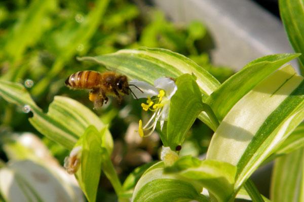 花と蜜蜂と、お茶の木のツボミ(^^)_a0136293_17534588.jpg