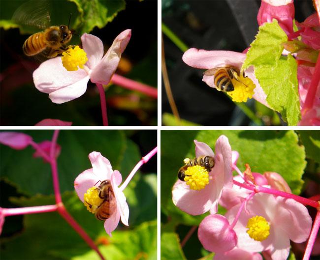 花と蜜蜂と、お茶の木のツボミ(^^)_a0136293_17584449.jpg