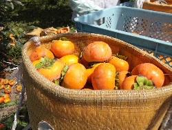 西村早生(にしむらわせ)柿の収穫。_f0018099_13123577.jpg