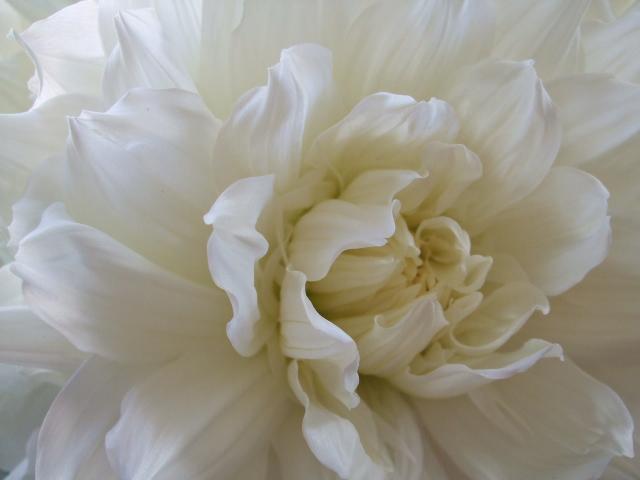 オークリーフ(白いダリアのある風景)_f0049672_1459724.jpg