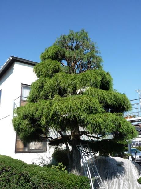 庭木手入れと砂利敷き_c0112447_23281566.jpg