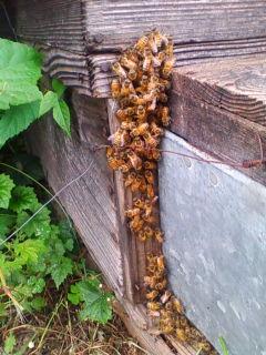 オオスズメバチに応戦するミツバチ_e0246120_16592687.jpg