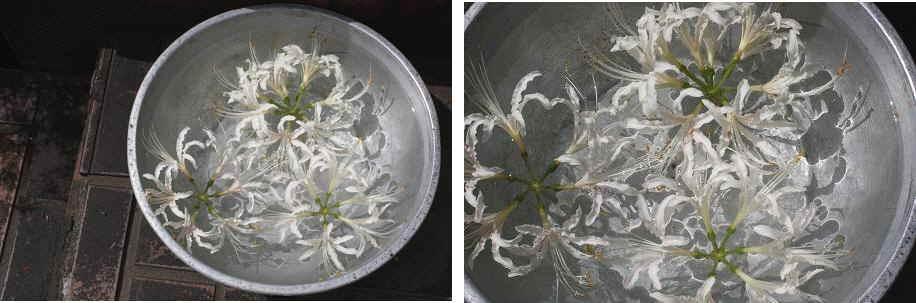 浮かべるお花。白いリコリス_f0121167_23524655.jpg