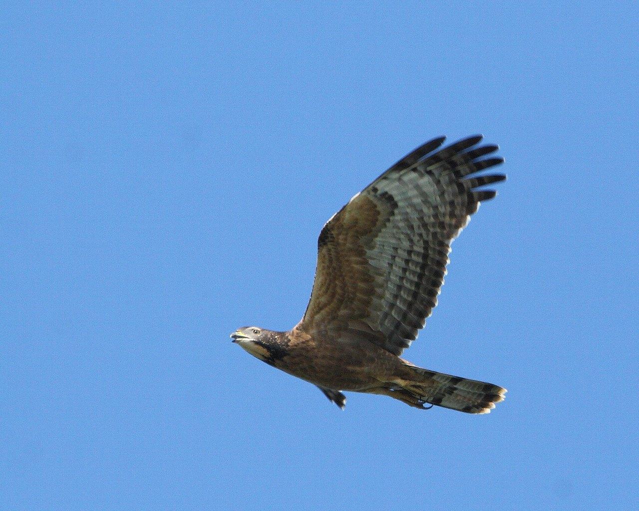 鷹の渡りの季節_f0105570_21304877.jpg
