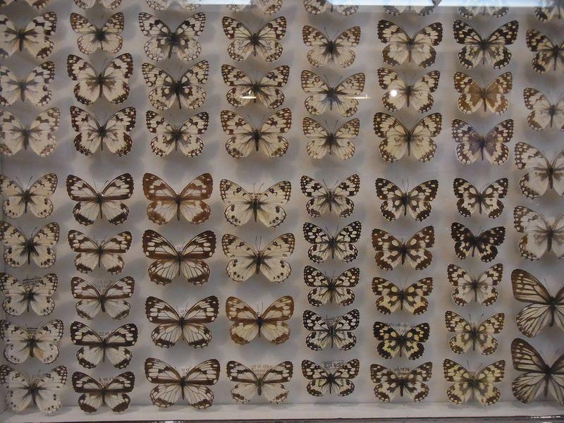 不安定な天気 博物館「チョウとガの世界」展明日まで_c0025115_1893192.jpg