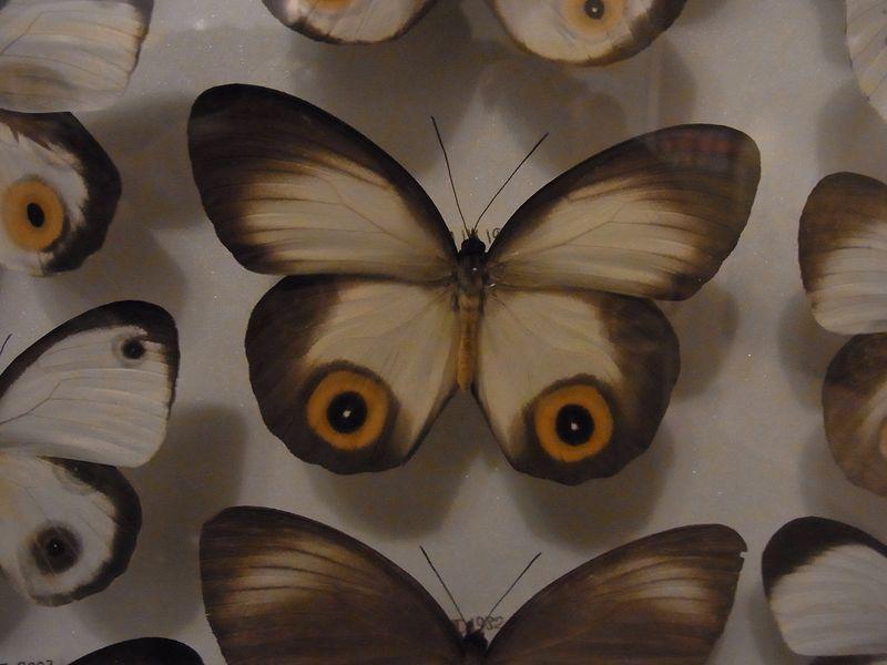不安定な天気 博物館「チョウとガの世界」展明日まで_c0025115_1893938.jpg