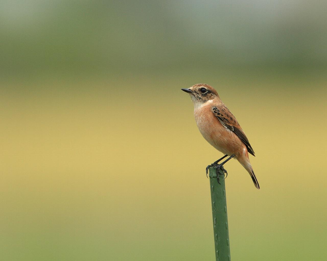 高原の鳥ノビタキも下りてきました。_f0105570_21394019.jpg