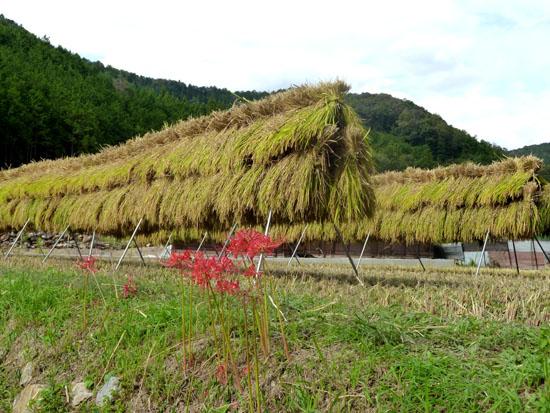岩倉の稲刈り_e0048413_2257157.jpg