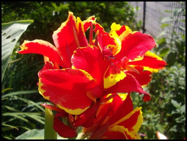 赤いカンナの花咲けば・・・♪ : ...