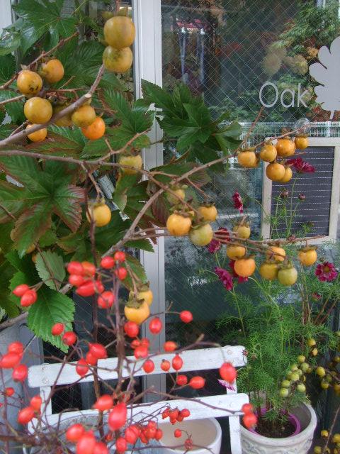 オークリーフ(紅葉、実物の秋)_f0049672_10525267.jpg