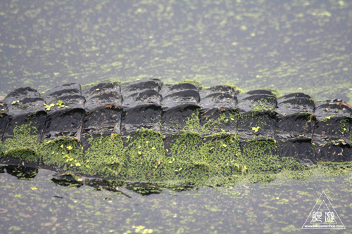 108 Brazos Bend State Park ~ワニの楽園~_c0211532_16423672.jpg