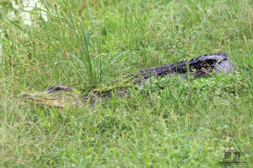 108 Brazos Bend State Park ~ワニの楽園~_c0211532_1853244.jpg
