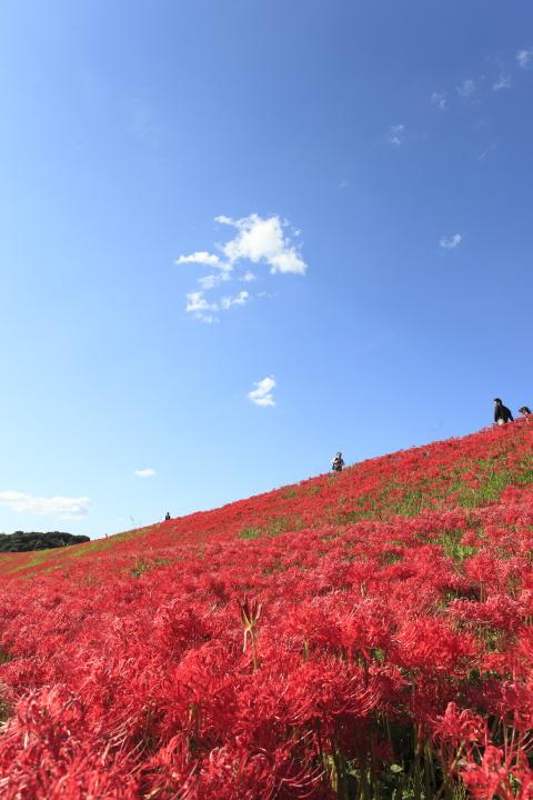 矢勝川堤 【彼岸花 2011】_d0108063_2141121.jpg