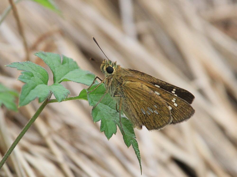 オオチャバネセセリ イチモンジより大きいです。  2011.8.6-9.17_a0146869_2220405.jpg