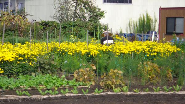 はざ掛け・棒掛け・菊の花。平川市の田んぼの様子など_a0136293_17234854.jpg