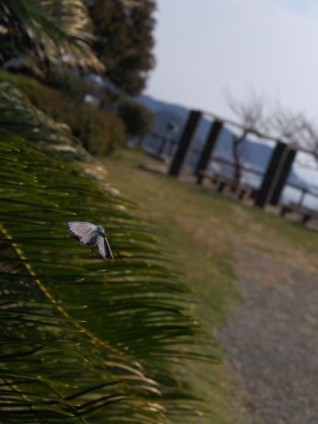 神奈川のクロマダラソテツシジミなど_c0045352_21251681.jpg