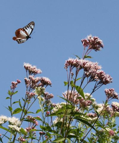 旅する蝶、アサギマダラ。_f0082141_10352679.jpg