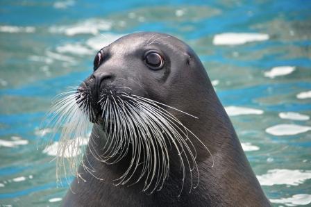 NAVER まとめアザラシって18種類もいるって知ってた?海獣好きのためのアザラシ科全18種類のまと…