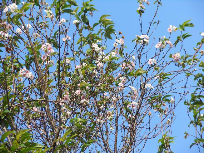 「秋桜」。でも「コスモス」ではありません_e0175370_20159100.jpg