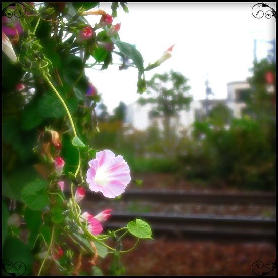 朝顔_e0199776_2011572.jpg