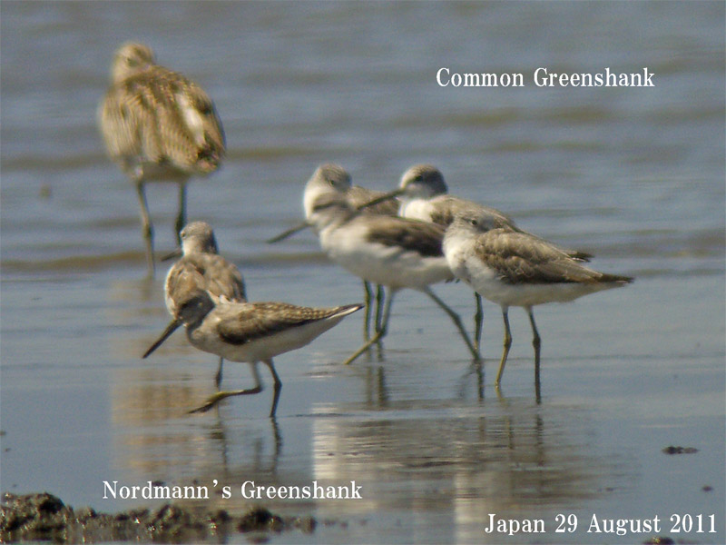 カラフトアオアシシギ3 Nordmann\'s (Spotted) Greenshank_c0071489_2143361.jpg