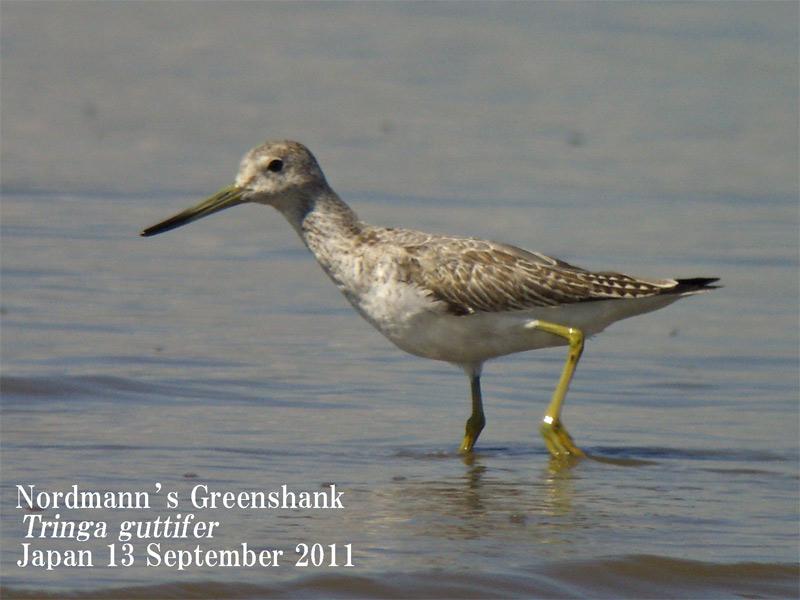 カラフトアオアシシギ3 Nordmann\'s (Spotted) Greenshank_c0071489_21465112.jpg