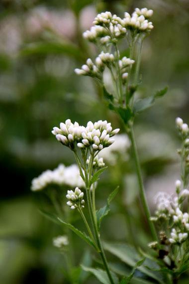 菜園の花いろいろ_e0048413_19131139.jpg