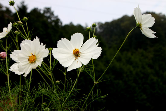 菜園の花いろいろ_e0048413_19134229.jpg