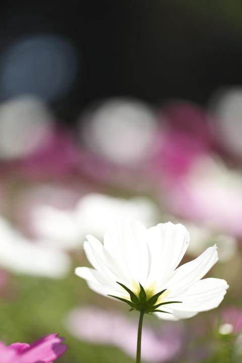 秋桜探し 【名城公園 2011】_d0108063_16495561.jpg