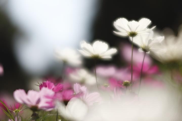 秋桜探し 【名城公園 2011】_d0108063_1650990.jpg