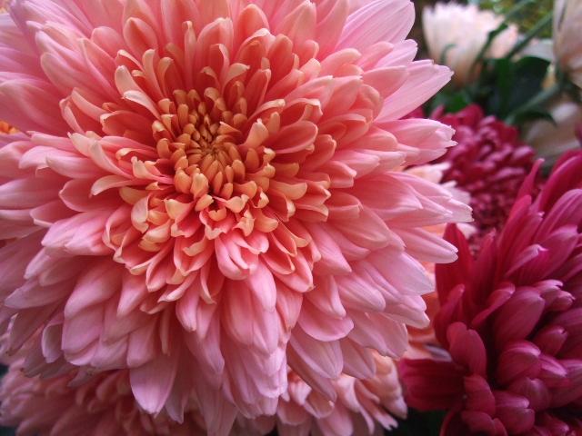 オークリーフ(秋の花まつり)_f0049672_12454991.jpg