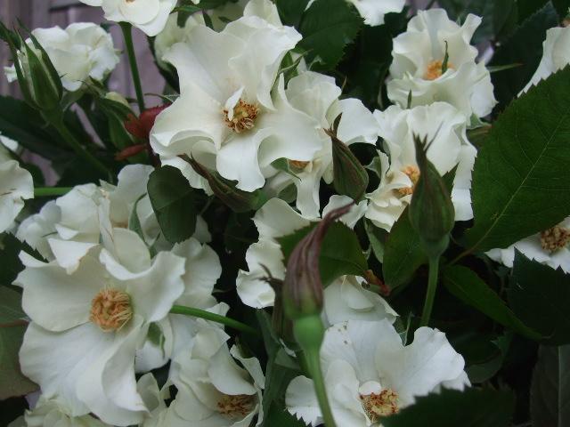 オークリーフ(秋の花まつり)_f0049672_12462611.jpg