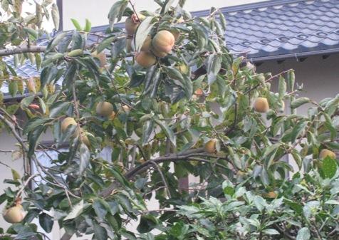 憂鬱な秋~柿の実の捨て頃となりました_a0087378_5162982.jpg