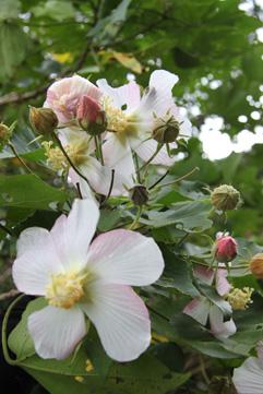 フヨウの花が好きです_e0041337_18135048.jpg