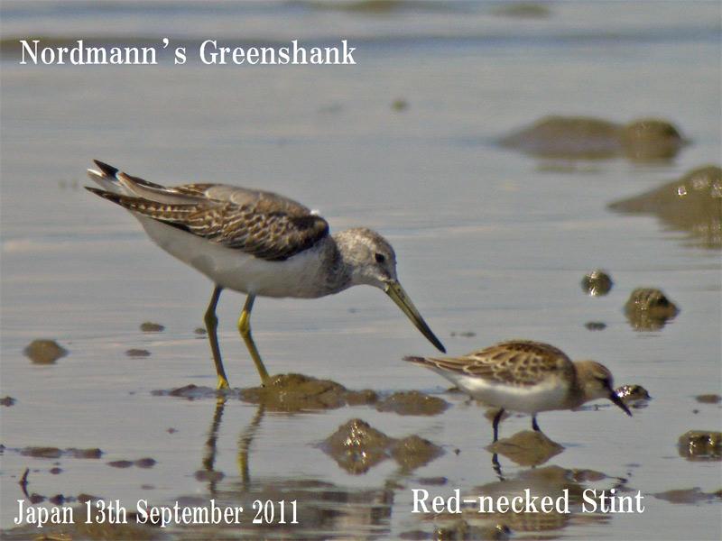 カラフトアオアシシギ3 Nordmann\'s (Spotted) Greenshank_c0071489_23454792.jpg