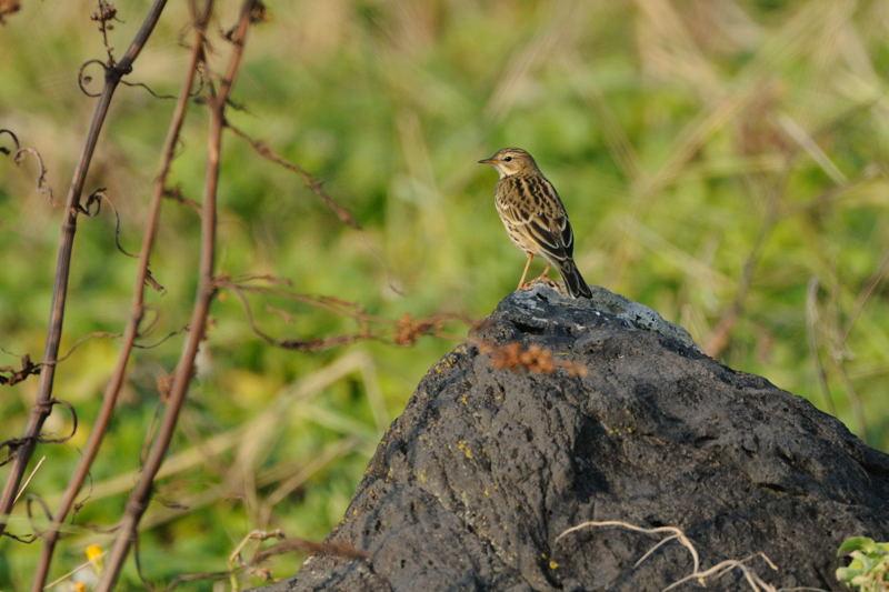 秋の渡りの野鳥-1(タヒバリ類)_d0099854_10501356.jpg